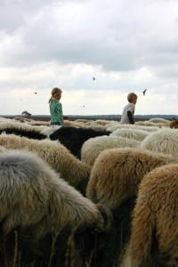 schapen_dwingelerveld